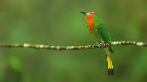Red-Beaded Bee-Eater