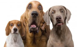 Dogs Communicate Through Facial Expressions