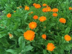 Companion Plants for Your Garden
