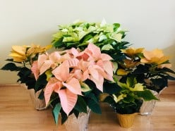 Care for Holiday Poinsettia