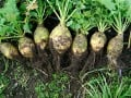 The Healthy Rutabaga