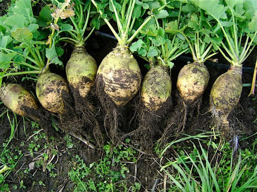 Though both the greens and roots are edible, most rutabaga dishes are made from the the large root