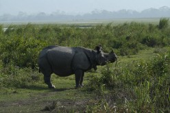Assam's Pride - One Horned Rhino