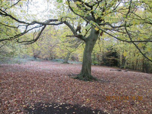 Forty-nine weeks later, in Epping Forest near the Robin Hood roundabout, having shed many of its leaves this tall tree stands almost bare amid its neighbours surrounded by a red carpet