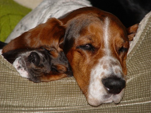 Basset hounds are known to be mellow and for falling asleep almost anywhere.