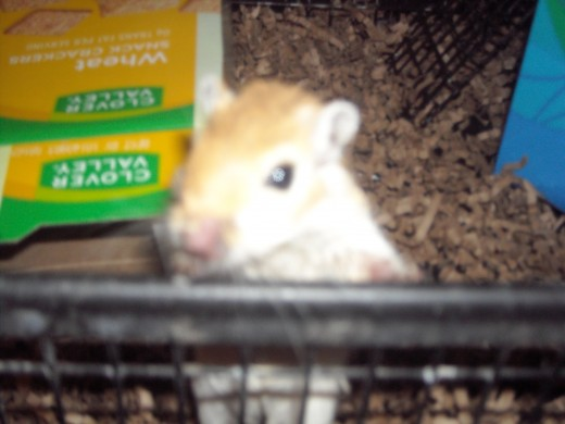 Honey, Our gerbil peaking out of her gerbil cage! :)