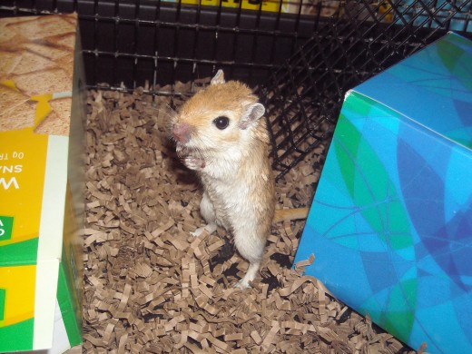 Honey Looking around her gerbil cage!