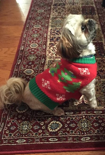 Yogi in his Christmas sweater 2015