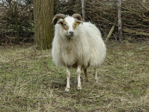 Drenthe Heath Sheep pregnant ewe