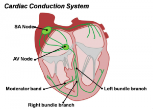 The electrical conduction of the heart.