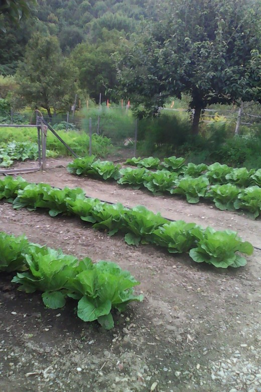 Chinese Cabbage heads maturing.