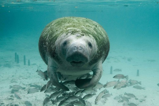 Into the eyes of the innocent Manatee