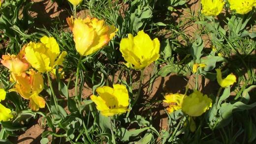 Texas Flame Tulip
