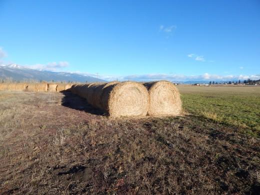 Alfalfa Round Bale in the field
