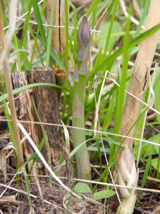 Asparagus Shoots ready to Harvest