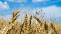 ISRAEL: SEVEN SPECIES (1) WHEAT