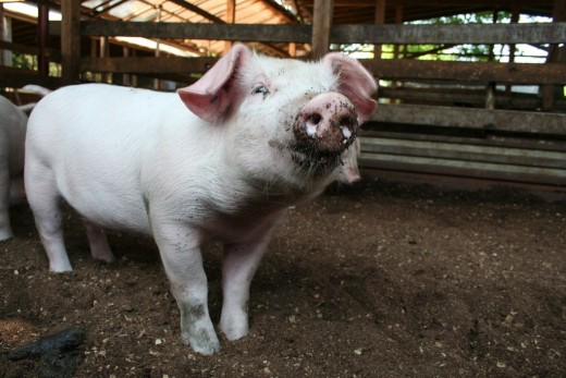 Pigs are the smartypants of the animal world. The only animals smarter than pigs are dolphins, chimps and elephants.