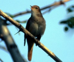 Poetical Encounter with a Nightingale