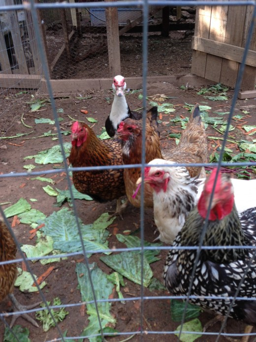 This is a picture of some of our flock! You can see one of our female muscovy in the back.