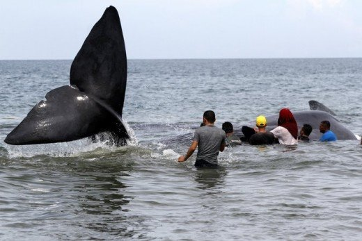 The New York Time Indonesian officials and environmental activists worked to save one of the 10 stranded whales. Credit Chaideer Mahyuddin/Agence France-Presse — Getty Images