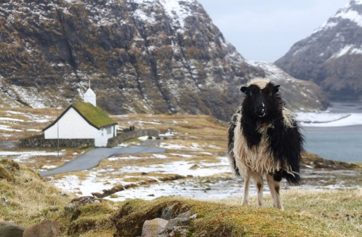 The Faroese sheep welcome holiday visitors from overseas.