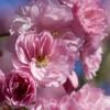 Pink Dove profile image