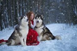 Alaskan Malamute Snowy Cute