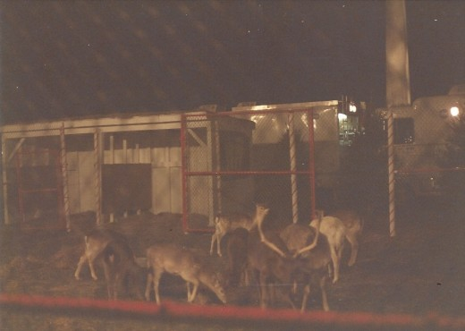 Reindeer at the Pageant of Peace on the White House Ellipse, 1988.