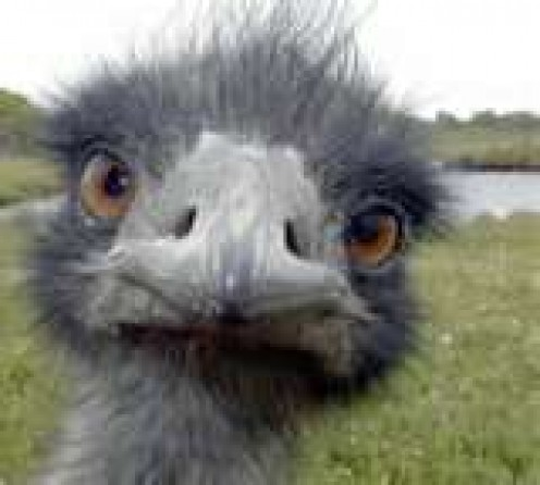 Emu -- Not an ostrich but a cousin who can be mistaken at certain ages for one.