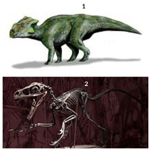 1.  Bagaceratops Dinosaur 2.  Bambiraptor Dinosaur
