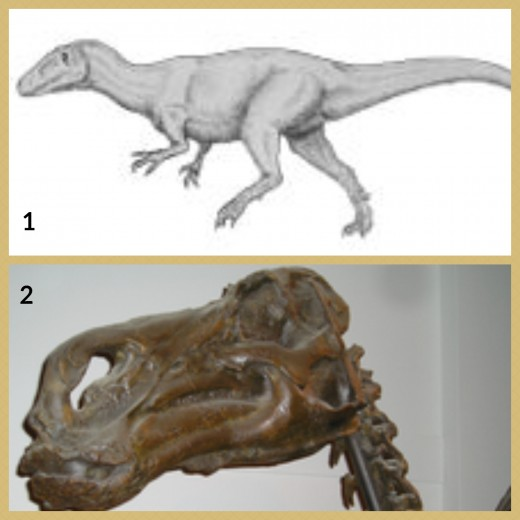 1. Magnosaurus Dinosaur 2. Maiasaura Dinosaur Skull (Royal Ontario Museum)