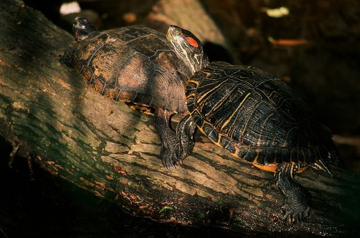 Two red-eared slider turtles late afternoon at Captain Falcon Park in Corpus Christi, Texas.