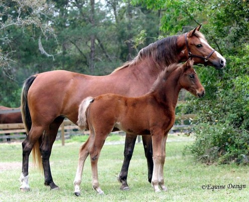 A Morgan Mare and her Foal