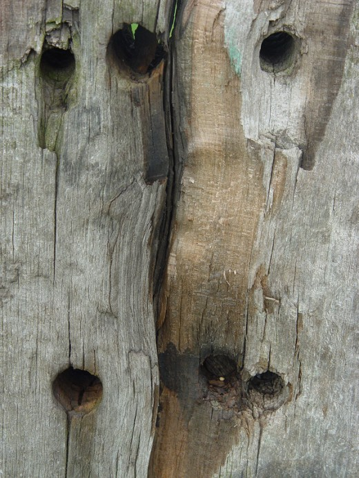 woodpecker nesting holes
