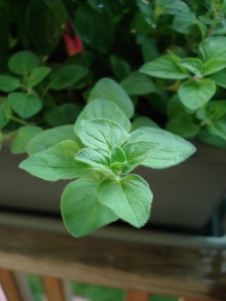 Oregano - A Flavorful Herb That's Easy To Grow