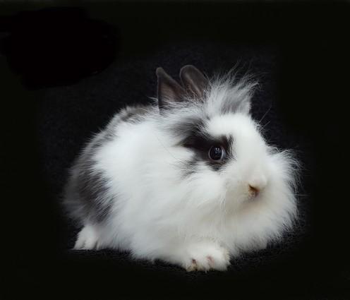 Lionhead Bunny Rabbit
