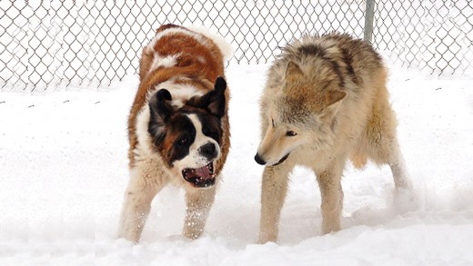 The Dogs and Wolves