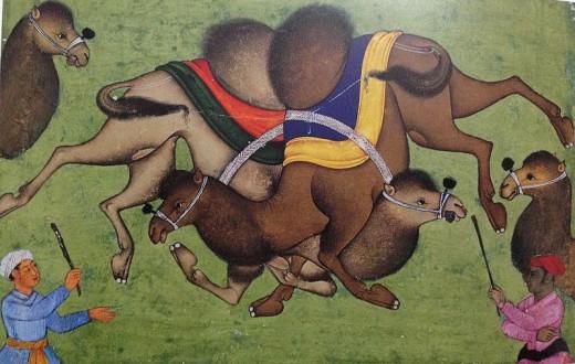 Camel fight
