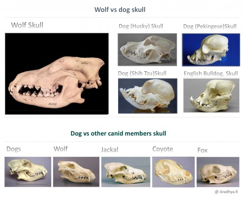 Shape and size of skull of Dogs Vs Wolves, coyote, fox and jackals