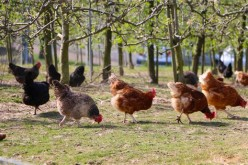 How to Raise Chickens Year After Year