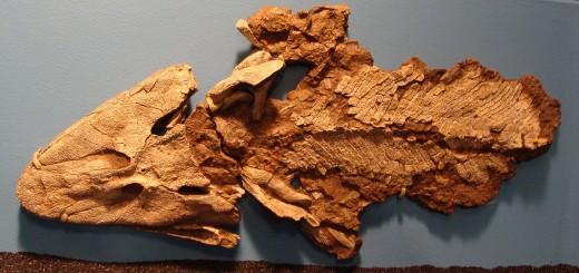 Tiktaalik Fossil