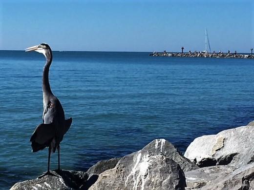 Blue Heron sunning himself