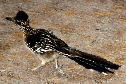 Photo of a Roadrunner bird in Death Valley