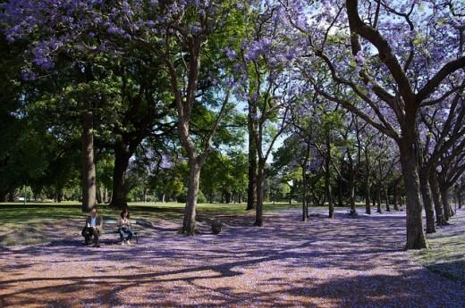 Milky white lilac grace of the Jacaranda Tree