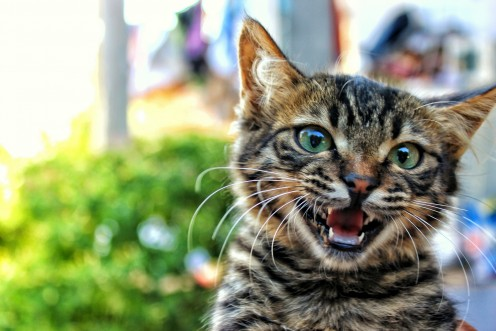 """Cats mostly meow in an attempt to garner attention from their human owners. """"Meow, I want food!"""""""