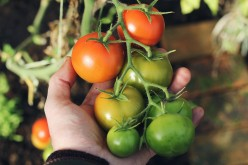 How to Grow and Care for Tomato Plants