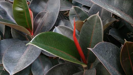 Ficus Elastica Robusta (Indian Rubber Tree) helps cleans indoor air.