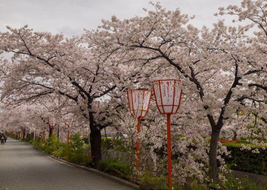 Cherry trees alley in a park