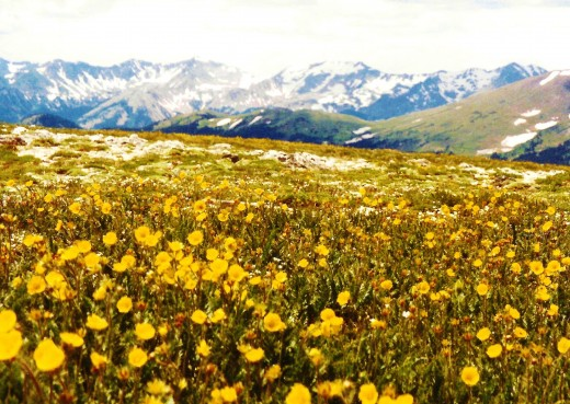 Alpine flowers seen from the Trail Ridge Road in Rocky Mountain National Park.