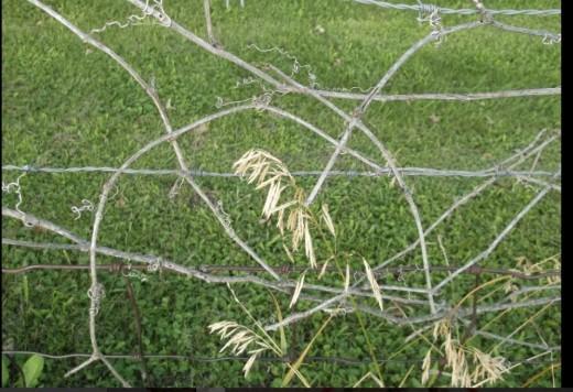 A fence. A grape vine. Some grass.
